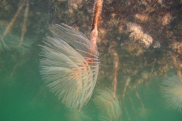 Fanworm in water 2 Photo credit Northland Regional Council