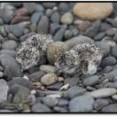 Banded Dotterel chicks egg