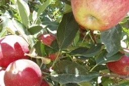 Apple Crop