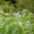 Woolly nightshade flowering photo Weedbusters Copy