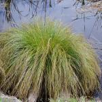 Carex Secta - COMMON NAME - Purei - PRICE - $2.00 - Fast growing sedge suitable for the wetter areas near the watercourse. Can tolerate flooding. 0.5-1m spacings.