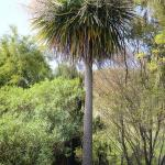 Cordyline australis - COMMON NAME - Cabbage Tree - PRICE - $2.50 - Suitable to a range of conditions. Effective planted in groups. Attracts birds & bees. 10m x 3m.