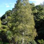 Dacrycarpus dacrydioides - COMMON NAME - Kahikatea - PRICE - $3.00 - Tall tree that grows well in swampy sites but will also grow in dry. Fruit attracts birds. 40m x 4m