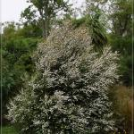 Kunzea ericoides - COMMON NAME - Kanuka - PRICE - $2.20 - Great revegetation plant. Likes dry conditions. Has fine foliage & white flowers that are attractive to bees. 8m x 3m.
