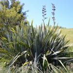 Phormium tenax - COMMON NAME - Swamp Flax - PRICE - $2.00 - Suitable to a range of conditions, wet to dry. Good shelter plant. Flower spikes provide nectar to tui & bellbird. Good for bees. Leaves used in weaving. 2m x 2m.