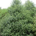 Pittosporum tenuifolium - COMMON NAME - Kohuhu - PRICE - $3.00 - Very hardy & widespread small tree. Suitable for mid to upper banks. Good for bees. 6m x 3m.